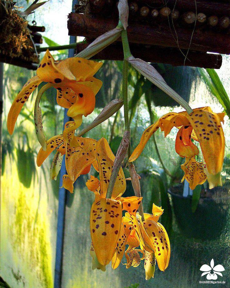 Orchideengarten Karge in Dahlenburg — Stanhopea wardii   #orchids #Orchidee #Orchideen...