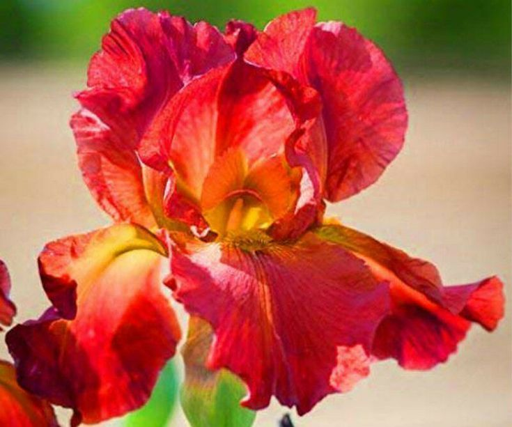 2 Perennial Bulbs Red Reblooming Bearded Iris Plants Roots Start Rhizome Flowers