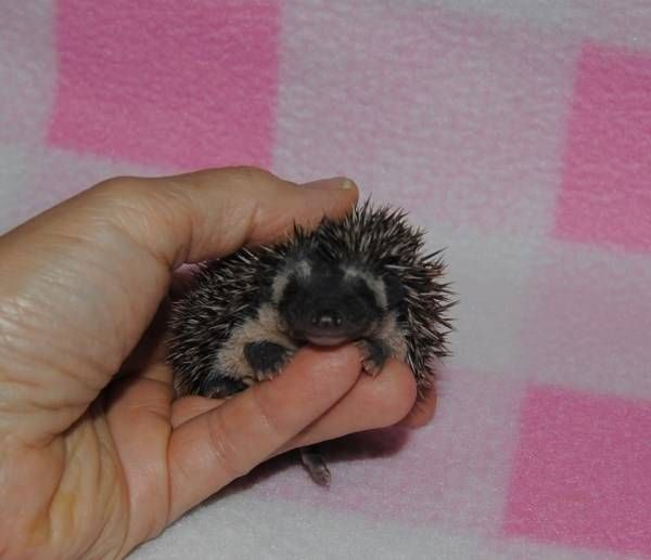 Hedgehog Babies Available For Sale