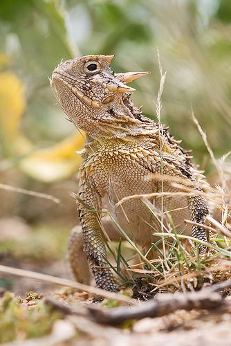 Texas Horned Lizard- played with these when I was a kid....now you never them