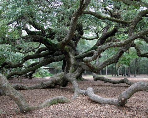 I love the Angel Oak in Charleston SC: Birthday, Beautiful Trees, Flower Vases, Bottle Flowers, Angel Oak Trees, Flowers Vase, Back Yard, Branches, Rustic Wedding