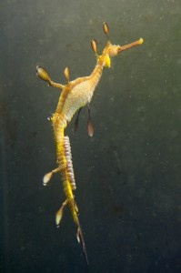 Nearly 100 small, pinkish eggs adorn a male weedy sea dragon. As with sea horses, male sea dragons are responsible for bearing youngSea Horses, Seaworld Orlando, Dragons Baby, Male Weedy, Weedy Sea, Dragonat Seaworld, Sea Dragons, Sea World, Tropical Coastal