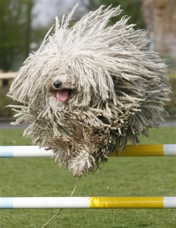 jumping dogPuppies, Fit Blog, Dogs Breeds, Dust Mops, Mops Dogs, Pets, Komondor, Funny Animal, New Dogs