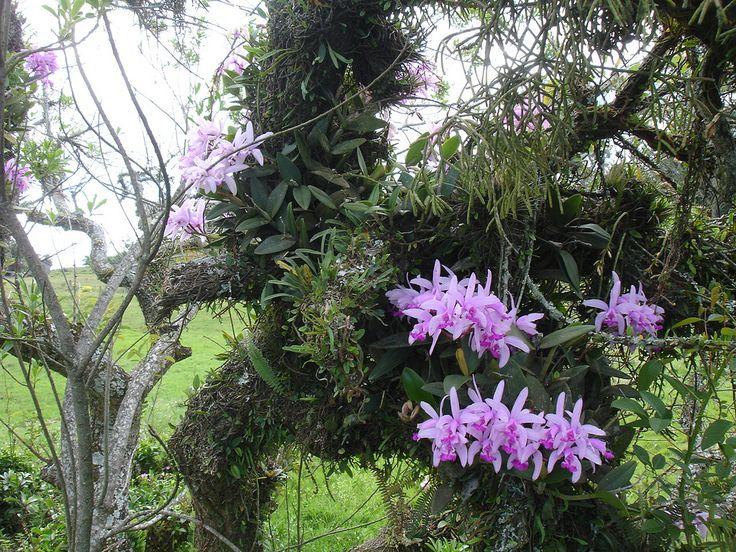 https://flic.kr/p/ebf2dP | Cattleya intermedia in situ