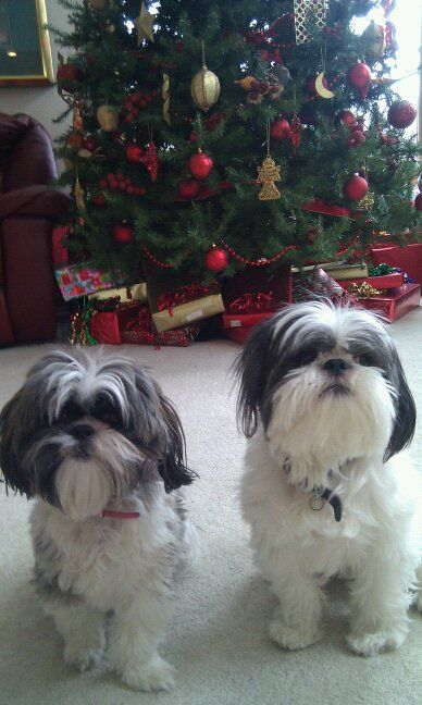 Tricks to Giving Your Shih Tzu Canine a Comfortable ...