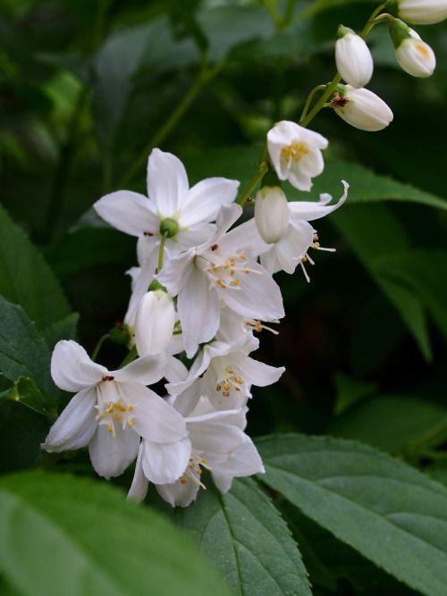 markunsan: Deutzia crenata 庭のウツギ卯の花はアメイロアリ的なアリに 蜜を提供中