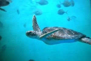 Save Endangered Sea Turtles from Deadly Nets PLEASE SIGN!