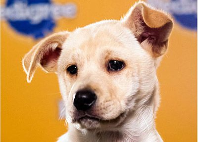 terrier chow lab mix puppies   name daffodil breed s chow chow labrador retriever mix