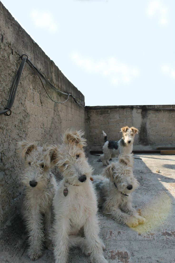 1546 best Dog lovers images on Pinterest | Wire fox terriers ...