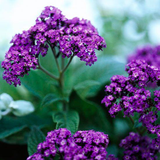 Plantas anuales de floración fragante que tenemos a nuestra disposición para que no sólo sea la vista la que disfrute en el jardín sino también nuestro olfato
