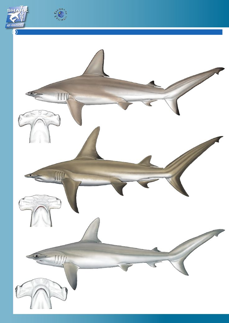 Best 25+ Hammerhead shark facts ideas on Pinterest ...