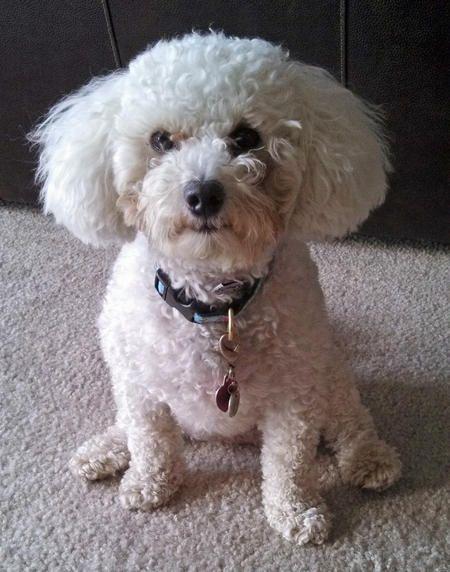 Miniature poodle or bichon frise