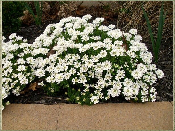 perfect rock gardens candytuft