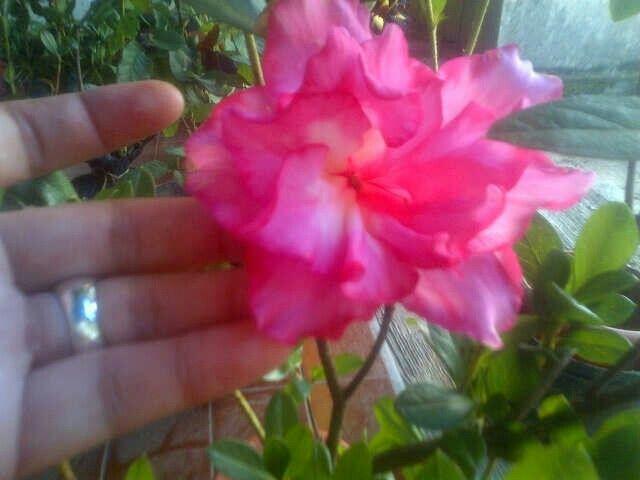 warna warni azalea