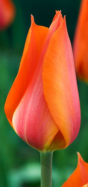 ~~Temple of Beauty   Single Late Tulip, bold, elegant, tulip with large yet graceful flowers on stems up to 30 inches tall, and its color — vivid orange blended with fuchsia — is truly stunning   Old House Gardens~~