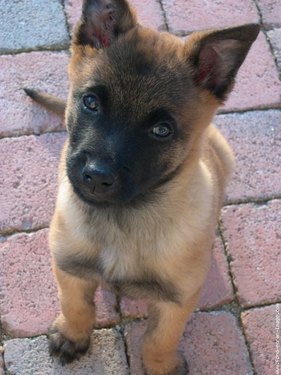 Malinois puppy want.... Want..... Want!!!!