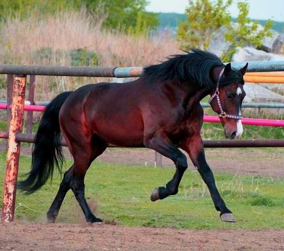 Horses for sale - Russian Trotter Horse Russia Endurance For sale Prodan.