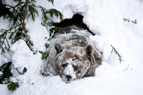 brown bear wakes up in snow.