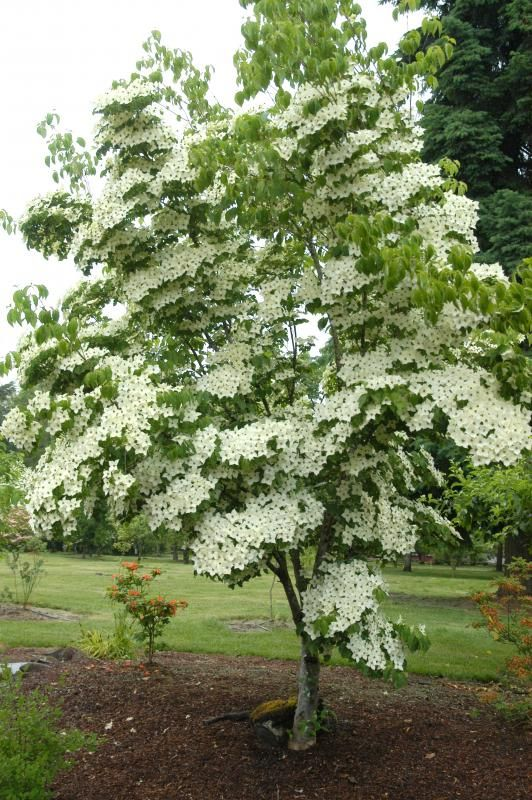 Tree suggestion. Cornus kousa var. chinensis. There are smaller varieties. Could be good feature to front of trellis. Likes a bit of shade. Spring flowering bracts and Autumn colour.