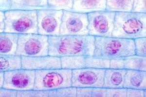 Cellules du méristème de racine d'oignon à différents stades de mitose. MO.     Cellules du méristème de racine d'oignon à différents stades de mitose: anaphase (au centre). MO, coloration Feulgen, x 150 (format 24x36 mm).