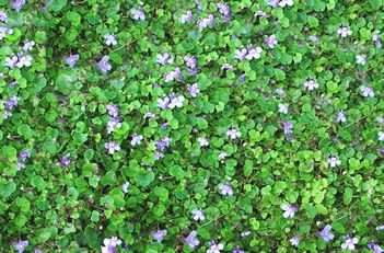 Cymbalaria aequitrilobia    Mini Kenilworth Ivy    This unique plant forms tons of tiny, fast growing runners of small, green kidney-shaped leaves that creep and hold tight to any rock or crevice. The runners form on top and underneath the soil. Dwarf purple flowers bloom continuously throughout the summer. Great look for courtyards and pathways. Perfect in shady locations and marvelous over flower bulbs!