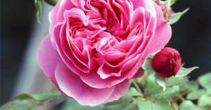 Cómo cultivar rosas trepadoras en macetas