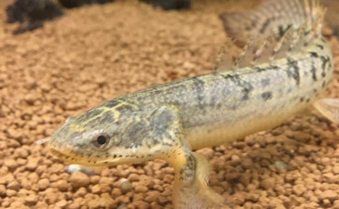 ポリプテルスデルヘッジの飼育方法 寿命や成長速度 60cm水槽で飼育できる Woriver 観賞魚 ポリプテルス 肉食