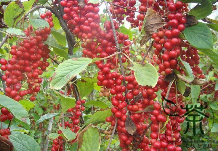 Schizandra Seed ,Five-flavor berry (nan wu wei zi) edible medicinally,wine,vinegar, soap lubricant