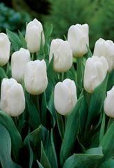 Tulip Calgary