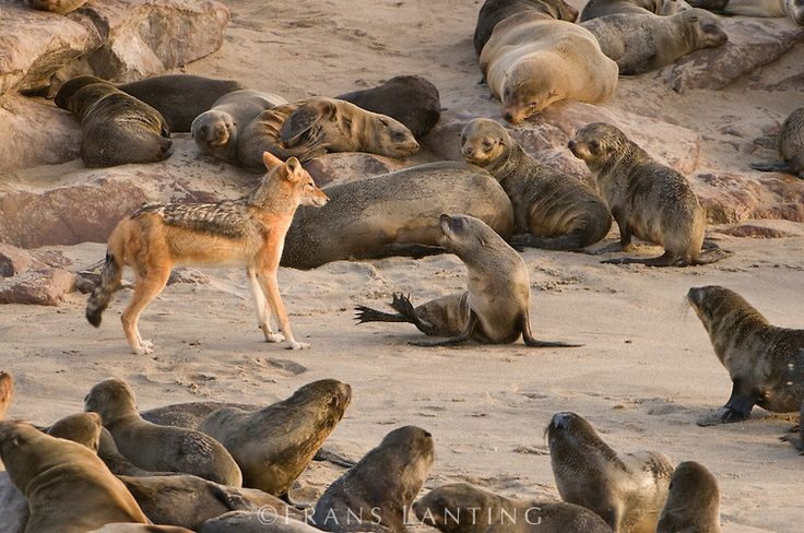 #photographer : Frans Lanting - Black-backed jackal rebuffed by Cape fur seal pup, Canis mesomelas and Arctocephalus pusillus,  Cape Cross, National West Coast Recreation A...