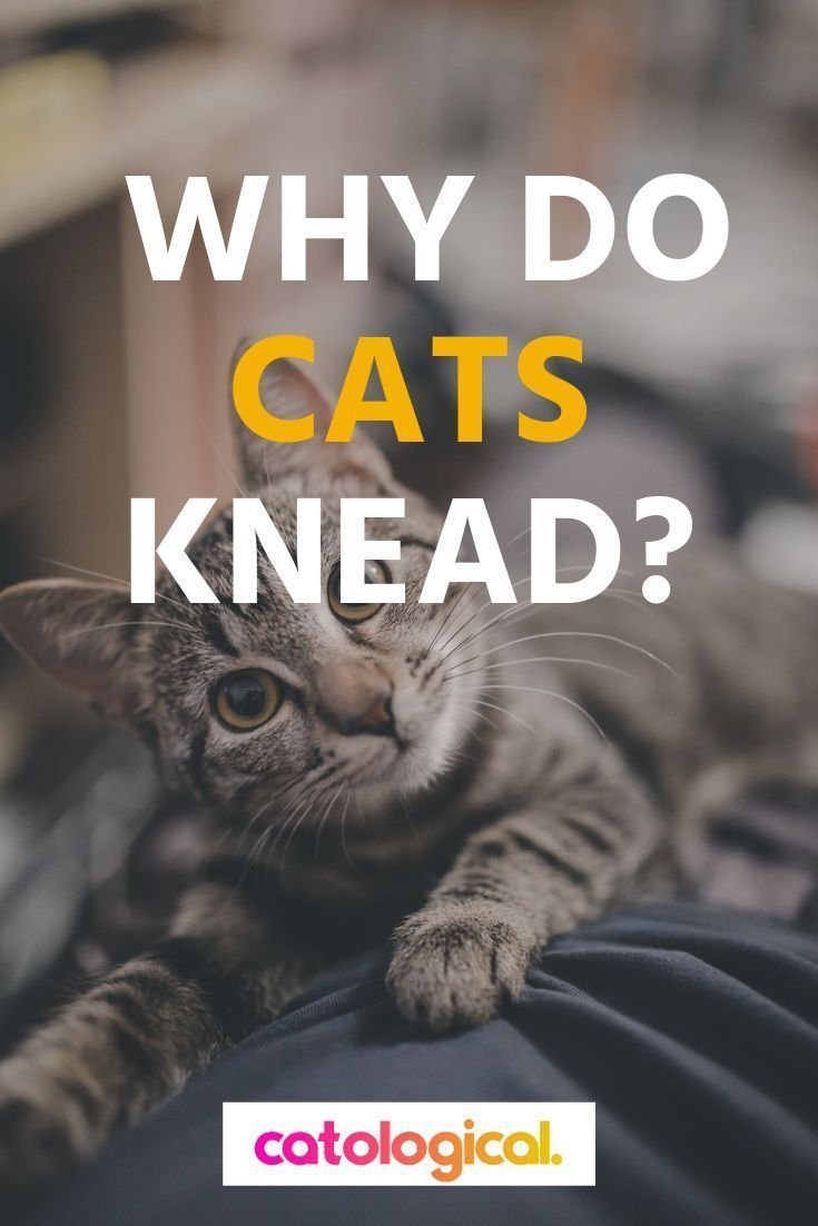Why Do Cats Knead Their Human Owners Pillows Blankets Everything With Images Cats Knead Cats Cat Parenting