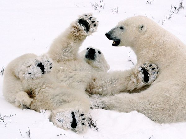 Photograph by Mauro Mozzarelli    These two polar bear cubs are playing close to our Tundra Buggy in Canada's Wapusk National Park.