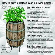 potato growing barrels with door | ... how to grow potatoes in a wine barrel
