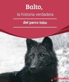 Balto, la historia verdadera del perro lobo   Empezó a correr el año 1925 cuando la difteria azotó el pequeño pueblo de Nome, situado en Alaska. ¿Qué tiene que ver un perro con todo esto? #perro #lobo #historia #curiosidades