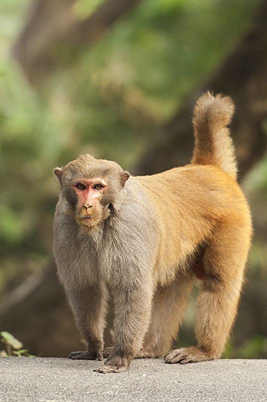 Rhesus Macaque in Kaziranga