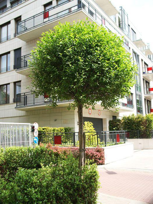 Den  Kugel-Kirsche  (auch Kugel-Steppenkirsche) finden wir in in vielen Vorgärten oder mittenim Rasen in Einzelstellung oder in Garten- und Parkanlagenam Beginn von Wegen (oftmals beidseitig)um diesen zu...