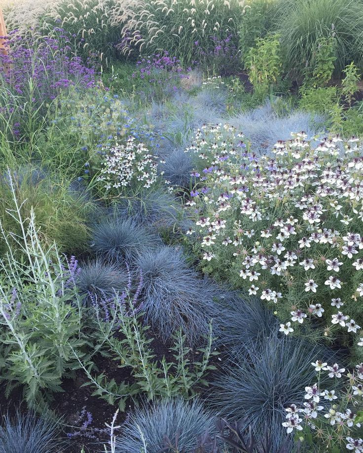"""Nigella hispanica 'African Bride' + Blue Fescue in a meadow planting"