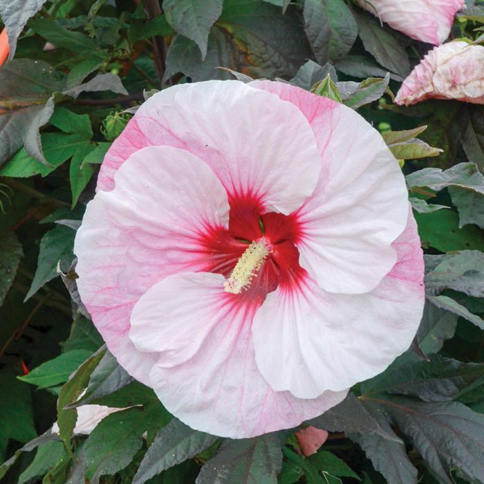 Perfect Storm Hibiscus 3 White Flower Farm Hibiscus Perennials