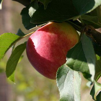 Dwarf & Miniature - Fruit Trees Online from Bay Laurel Nursery