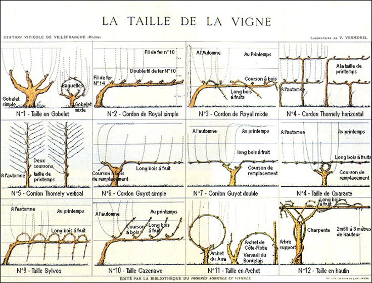 1000 id es propos de taille vigne sur pinterest taille de vigne tailler la vigne et taille - Parasite de la vigne ...