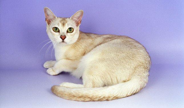 Chocolate Shaded Burmilla Cat Rarecatsbreeds Burmilla Cat Cat Breeds Burmilla