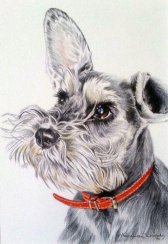 Chloe by Louise Dodds of Portraits by Louise #Miniature #Schnauzer esta imagen representa a una raza schnauzer la cual es como la mascota que tengo en mi casa y que siempre pasa a mi lado aunque ya no es tan joven pero siempre me gusta este tipo de raza de perros porque son muy juguetones.