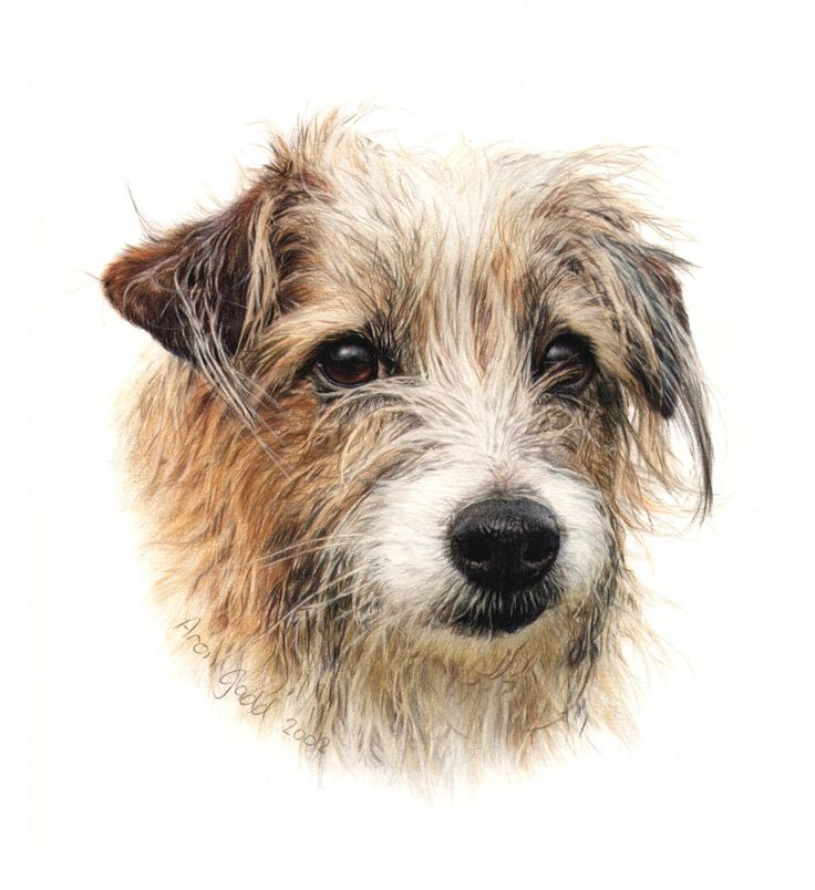 Dogs in Art at the StockBridge Gallery -  Jack Russell in Coloured Pencil by Aron Gadd, £75.00 (http://www.dogsinart.com/products/-Jack-Russell-in-Coloured-Pencil-by-Aron-Gadd.html)