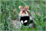 the Great Hamster of Alsace, the last wild hamster species in Western Europe