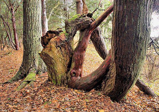 Leon Wyczółkowski's Cisy Staropolskie Nature Preserve, likely the oldest nature reserve in Poland