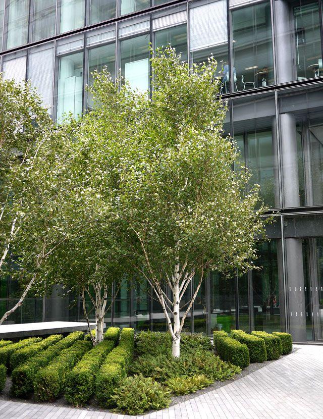 betula box shrub - Google 검색