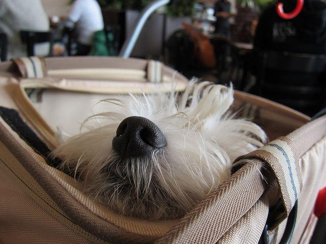 Too cute!Westies Nose, Westies Lov, Big Bags, Dogs Life, Big Dogs, Westies Westies Babies
