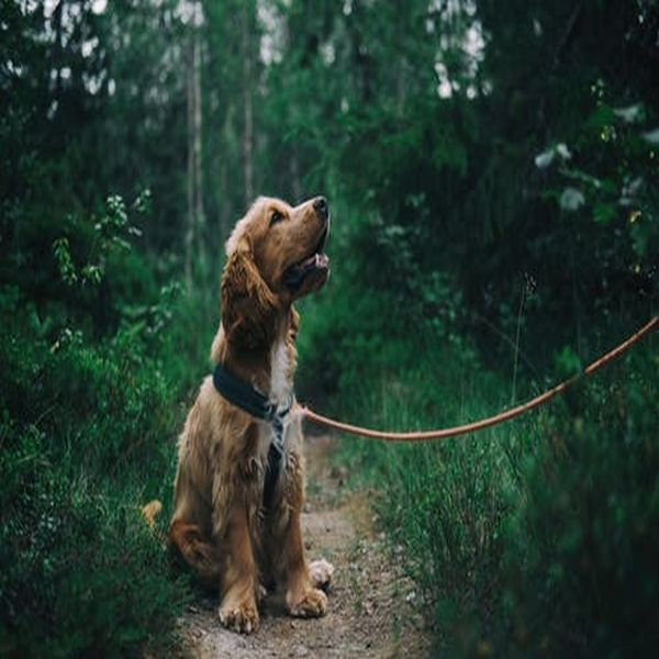 Dog Training Tips For Biting English Cocker Spaniel Puppies Spaniel Puppies Therapy Dogs