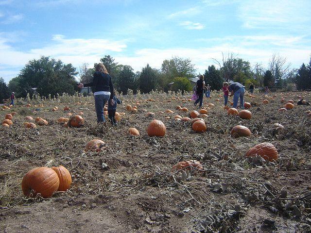 Image of pumpkins on Arizona farm in October.
