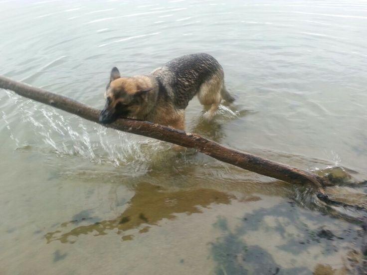 Big Stick Esa German Shepherd Dogs Beautiful Creatures German
